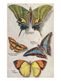 Four Butterflies Prints