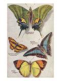 Four Butterflies Prints