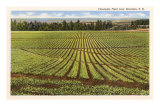 Pineapple Field, Honolulu, Hawaii Posters