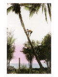 Boy Climbing Coconut Palm, Hawaii Print