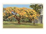 Golden Shower Tree, Hawaii Prints