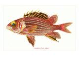 Hawaiian Fish, Alaihi Posters