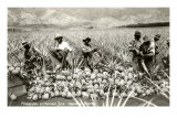 Harvesting Pineapples, Hawaii Kunstdruck