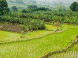 Charles Crust - Banana Trees and Rice Paddies, Honghe, Yunnan Province, China Fotografická reprodukce