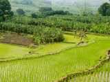 Banana Trees and Rice Paddies, Honghe, Yunnan Province, China Photographic Print by Charles Crust