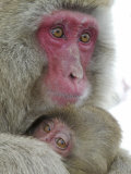 Baby Snow Monkey Clinging to Mother, Jigokudani Monkey Park, Japan Photographic Print by Josh Anon