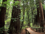 Old Redwood Trees, Muir Woods, San Francisco, California, USA Fotodruck von Bill Bachmann