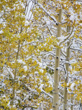 Snow Covered Aspens and Firs, Maroon Bells, Colorado, USA Photographic Print by Terry Eggers