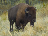 American Bison Buffalo, National Bison Range, Montana, USA Photographic Print by Charles Crust