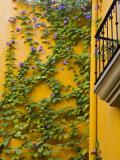 Flowering Vine on Wall, San Miguel De Allende, Guanajuato, Mexico Photographic Print by Julie Eggers