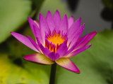 Single Magenta Water Lily, Lake Gardens Park, Kuala Lumpur, Malaysia Photographic Print by Ellen Clark