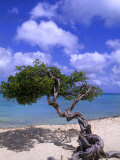 Lone Divi Tree, Aruba, Caribbean Photographic Print by Bill Bachmann