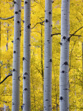Autumn Aspen Stand, Yankee Boy Basin, Colorado, USA Photographic Print by Terry Eggers