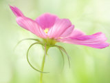 Close-Up of A Pink Cosmos, Harpswell, Maine, USA Photographic Print by Kathleen Clemons