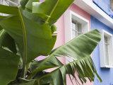 Banana plant, Mahebourg, Mauritius Photographic Print by Walter Bibikow