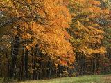 Sugar Maples, Ozark-St. Francis National Forest, Arkansas, USA Fotodruck von Charles Gurche