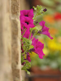 Petunia Flowers on Wall, Tuscany, Italy Photographic Print by Adam Jones