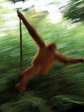 Orangutan in Rainforest, Borneo, Indonesia Photographic Print by Gavriel Jecan