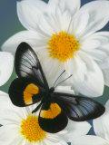 Miyana Meyeri Butterfly on Flowers Lámina fotográfica por Gulin, Darrell