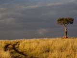 Primitive road and single Umbrella Thorn Acacia tree, Masai Mara Game Reserve, Kenya Photographic Print by Adam Jones