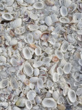 Sanibel Seashells, Sanibel Island, Florida, USA Photographic Print by Walter Bibikow