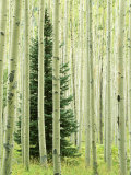 Silver FIr in Aspen Grove, White River National Forest, Colorado, USA Photographic Print by Charles Gurche