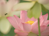 Pink Lotus With Bee, Kenilworth Aquatic Gardens, Washington DC, USA Photographic Print by Corey Hilz