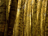 Yellow Aspen Trees on Kebler Pass, Crested Butte, Colorado, USA Photographic Print by Cindy Miller Hopkins