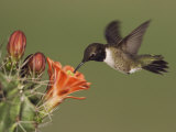 Black-Chinned Hummingbird, Uvalde County, Hill Country, Texas, USA Photographic Print by Rolf Nussbaumer