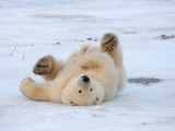 Polar Bear Cub Rolling Around, Arctic National Wildlife Refuge, Alaska, USA Photographic Print by Steve Kazlowski