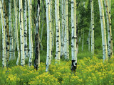 Aspen and Goldenrod, Uinta-Wasatch-Cache National Forest, Utah, USA Photographic Print by Charles Gurche