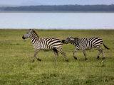 Burchell's Zebra fighting, Lake Nakuru National Park, Kenya Photographic Print by Adam Jones
