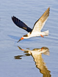 Black Skimmer Fishing on Laguna Madre, South Padre Island, Texas, USA Photographic Print by Larry Ditto