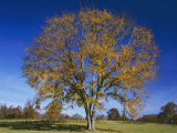 American Elm, Texas County, Missouri, USA Photographic Print by Charles Gurche