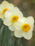 Closeup of White Daffodils, Arlington, Virginia, USA Photographic Print by Corey Hilz