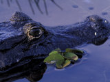 Spectacled Caiman, Amazon Rainforest, Pantanal, Brazil Photographic Print by Gavriel Jecan