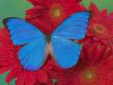 Morpho Anaxibia Butterfly on Flowers Photographic Print by Darrell Gulin
