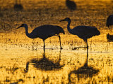 Sandhill Cranes wading, Bosque del Apache National Wildlife Refuge, Socorro, New Mexico, USA Photographic Print by Larry Ditto