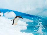 Gentoo Penguin Jumping off Iceberg, Western Antarctic Peninsula, Antarctica Photographic Print by Steve Kazlowski