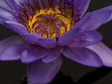 Purple Tropical Water Lily, Kenilworth Aquatic Gardens, Washington DC, USA Photographic Print by Corey Hilz