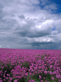 Field of Dames Rocket and Clouds, Oregon, USA Photographic Print by Julie Eggers