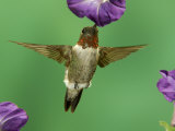 Ruby-Throated Hummingbird Feeding on Petunia, New Braunfels, Texas, USA Photographic Print by Rolf Nussbaumer