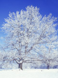 Black Walnut, Warren County, Virginia, USA Photographic Print by Charles Gurche