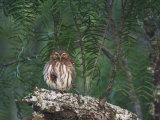 Ferruginous Pygmy-Owl, Rio Grande Valley, Texas, USA Photographic Print by Rolf Nussbaumer