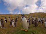 Gentoo Penguin, Beaver Island, Falkland Islands Photographic Print by Steve Kazlowski