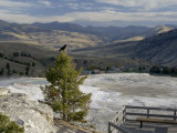 Common Raven, Mammoth Hot Springs, Yellowstone National Park, Wyoming, USA Photographic Print by Rolf Nussbaumer