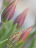 Tulip Buds in A Flower Garden, Maine, USA Photographic Print by Kathleen Clemons