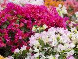 Bougainvillea Flowers, San Miguel De Allende, Guanajuato State, Mexico Photographic Print by Julie Eggers