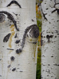 Aspen Tree Trunks, Vail, Colorado, USA Photographic Print by Cindy Miller Hopkins