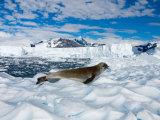 Crabeater Seal Resting, Western Antarctic Peninsula, Antarctica Photographic Print by Steve Kazlowski
